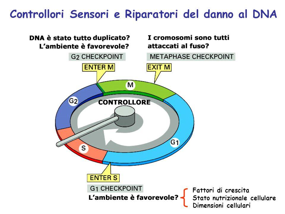 Controllori Sensori e Riparatori del danno al DNA Fattori di crescita Stato nutrizionale cellulare Dimensioni cellulari