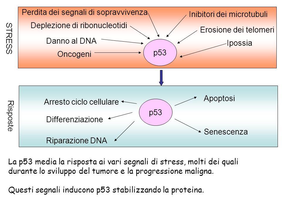 Perdita dei segnali di sopravvivenza Deplezione di ribonucleotidi Danno al DNA Oncogeni Inibitori dei microtubuli Erosione dei telomeri Ipossia p53 ST