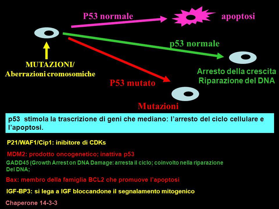 P53 mutato Mutazioni P21/WAF1/Cip1: inibitore di CDKs MDM2: prodotto oncogenetico; inattiva p53 GADD45 (Growth Arrest on DNA Damage: arresta il ciclo;