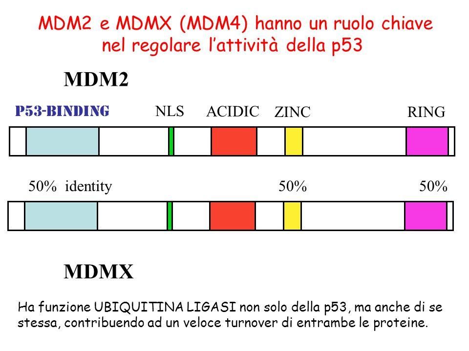 p53-binding NLS ACIDIC ZINCRING MDM2 50% identity50% MDMX MDM2 e MDMX (MDM4) hanno un ruolo chiave nel regolare l'attività della p53 Ha funzione UBIQUITINA LIGASI non solo della p53, ma anche di se stessa, contribuendo ad un veloce turnover di entrambe le proteine.
