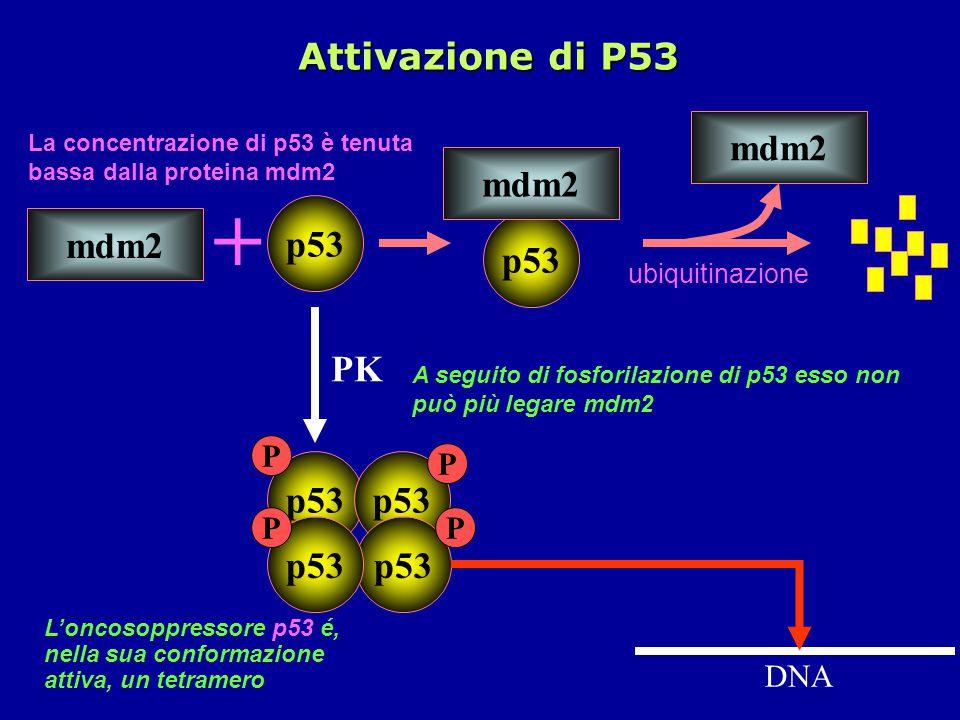 A seguito di fosforilazione di p53 esso non può più legare mdm2 PK p53 P mdm2 p53 mdm2 + ubiquitinazione p53 mdm2 La concentrazione di p53 è tenuta bassa dalla proteina mdm2 DNA L'oncosoppressore p53 é, nella sua conformazione attiva, un tetramero p53 P P P Attivazione di P53