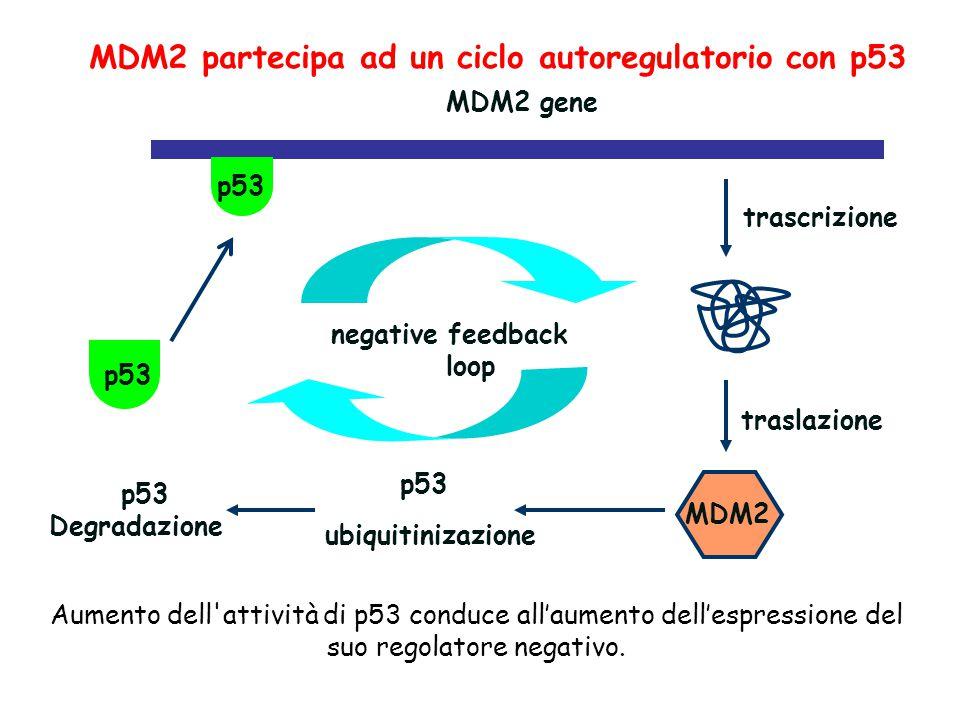 p53 MDM2 gene trascrizione MDM2 p53 ubiquitinizazione p53 Degradazione traslazione negative feedback loop MDM2 partecipa ad un ciclo autoregulatorio c