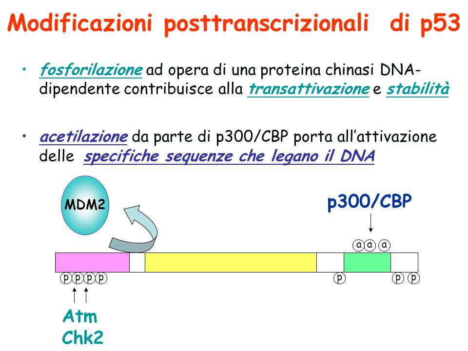 Modificazioni posttranscrizionali di p53 fosforilazione ad opera di una proteina chinasi DNA- dipendente contribuisce alla transattivazione e stabilità acetilazione da parte di p300/CBP porta all'attivazione delle specifiche sequenze che legano il DNA ppppppp Atm Chk2 aaa p300/CBP MDM2