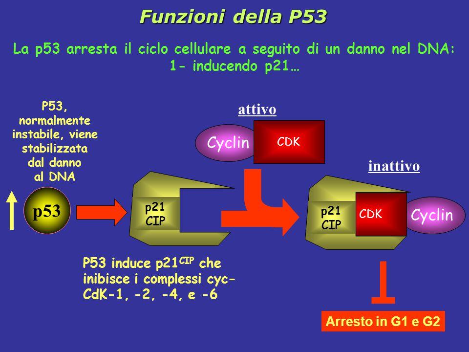 La p53 arresta il ciclo cellulare a seguito di un danno nel DNA: 1- inducendo p21… inattivo Cyclin CDK p21 CIP Arresto in G1 e G2 p21 CIP Cyclin CDK attivo P53 induce p21 CIP che inibisce i complessi cyc- CdK-1, -2, -4, e -6 p53 P53, normalmente instabile, viene stabilizzata dal danno al DNA Funzioni della P53
