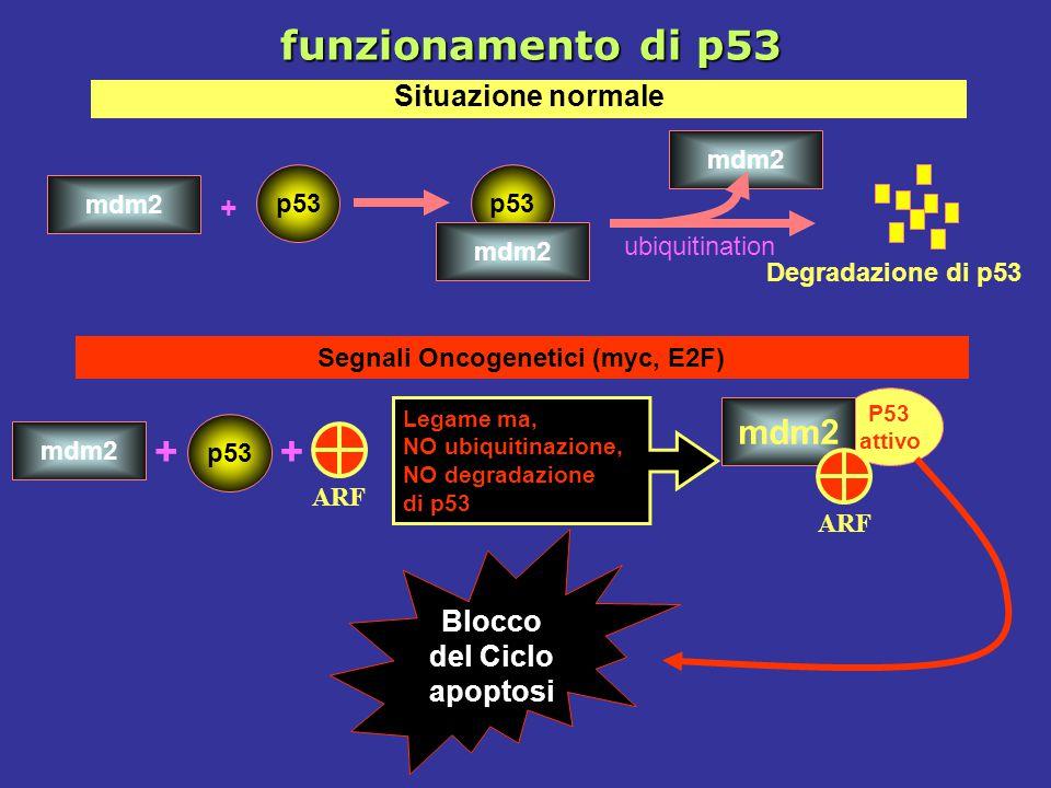 ++ ARF Segnali Oncogenetici (myc, E2F) p53 mdm2 p53 mdm2 + ubiquitination p53 mdm2 Degradazione di p53 Situazione normale Legame ma, NO ubiquitinazion