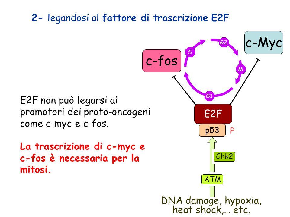 E2F non può legarsi ai promotori dei proto-oncogeni come c-myc e c-fos. La trascrizione di c-myc e c-fos è necessaria per la mitosi. G2 M G1 S P p53 D