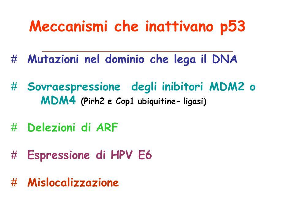 Meccanismi che inattivano p53 # Mutazioni nel dominio che lega il DNA # Sovraespressione degli inibitori MDM2 o MDM4 (Pirh2 e Cop1 ubiquitine- ligasi) # Delezioni di ARF # Espressione di HPV E6 # Mislocalizzazione