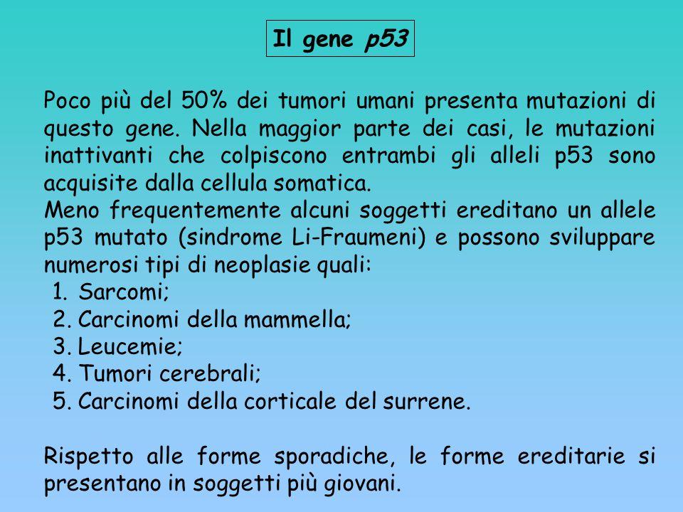 Il gene p53 Poco più del 50% dei tumori umani presenta mutazioni di questo gene. Nella maggior parte dei casi, le mutazioni inattivanti che colpiscono