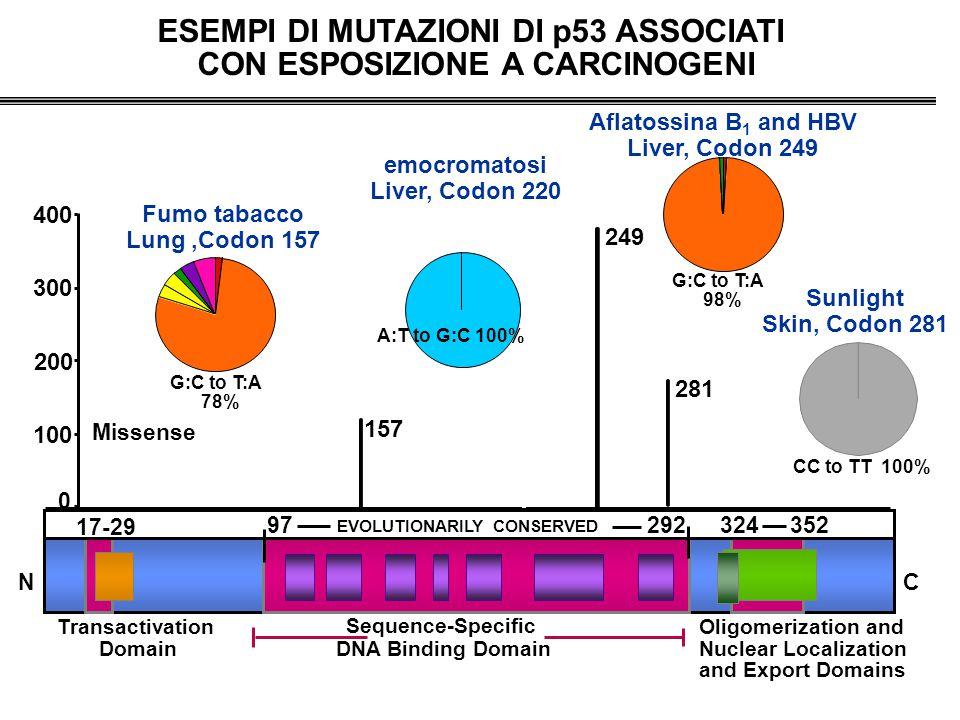 249 157 Sequence-Specific DNA Binding Domain NC EVOLUTIONARILY CONSERVED 17-29 97292324352 Missense Transactivation Domain Oligomerization and Nuclear Localization and Export Domains 0 Fumo tabacco Lung,Codon 157 G:C to T:A 78% ESEMPI DI MUTAZIONI DI p53 ASSOCIATI CON ESPOSIZIONE A CARCINOGENI Aflatossina B 1 and HBV Liver, Codon 249 G:C to T:A 98% 281 Sunlight Skin, Codon 281 CC to TT 100% 400 200 100 300 emocromatosi Liver, Codon 220 A:T to G:C 100%