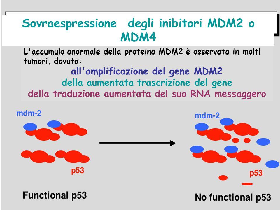 Sovraespressione degli inibitori MDM2 o MDM4 L'accumulo anormale della proteina MDM2 è osservata in molti tumori, dovuto: all'amplificazione del gene