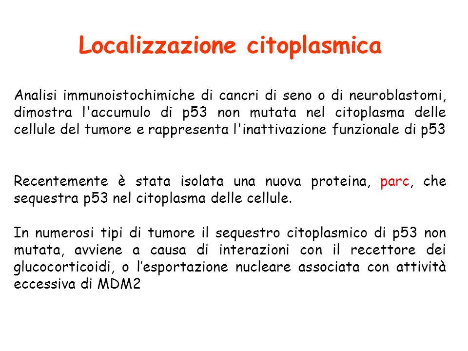 Localizzazione citoplasmica Analisi immunoistochimiche di cancri di seno o di neuroblastomi, dimostra l accumulo di p53 non mutata nel citoplasma delle cellule del tumore e rappresenta l inattivazione funzionale di p53 Recentemente è stata isolata una nuova proteina, parc, che sequestra p53 nel citoplasma delle cellule.