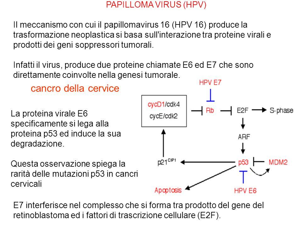 La proteina virale E6 specificamente si lega alla proteina p53 ed induce la sua degradazione.