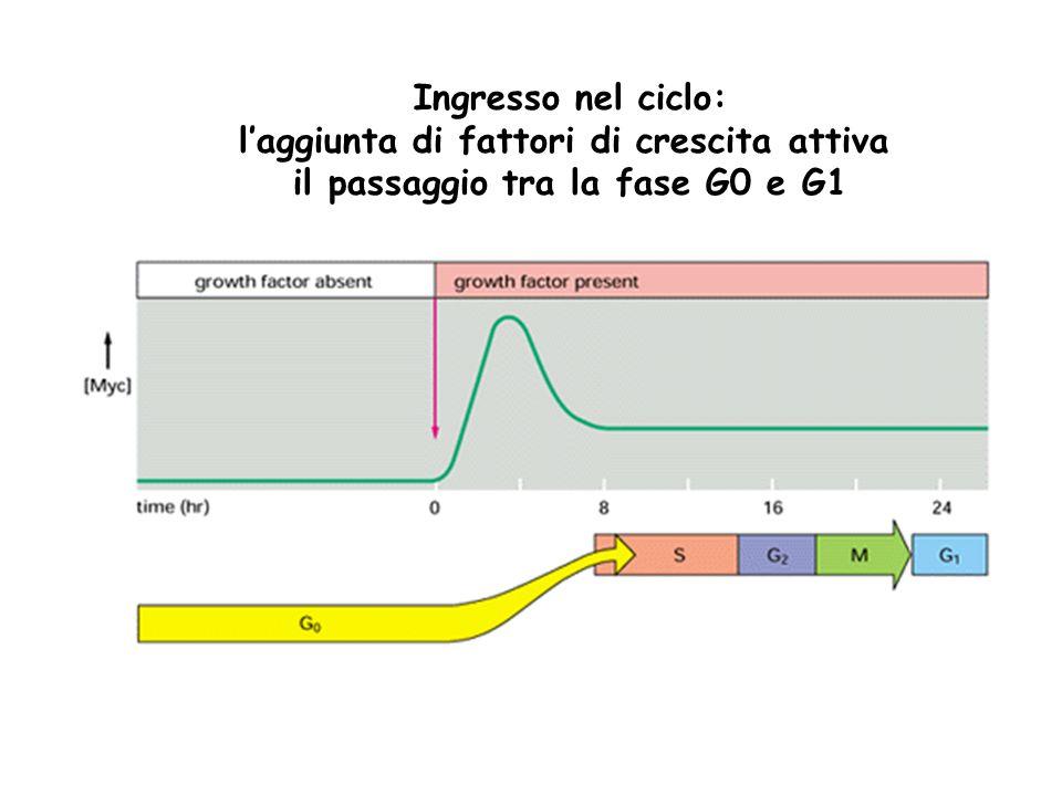 Ingresso nel ciclo: l'aggiunta di fattori di crescita attiva il passaggio tra la fase G0 e G1