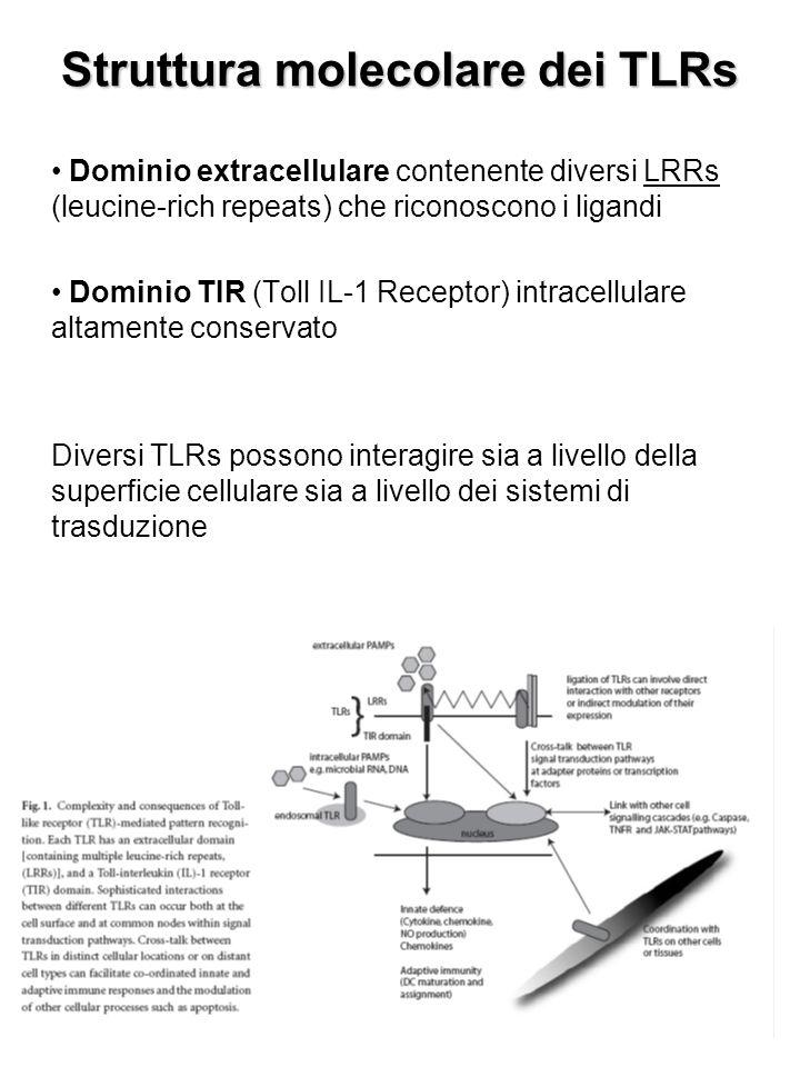 Struttura molecolare dei TLRs Dominio extracellulare contenente diversi LRRs (leucine-rich repeats) che riconoscono i ligandi Dominio TIR (Toll IL-1 Receptor) intracellulare altamente conservato Diversi TLRs possono interagire sia a livello della superficie cellulare sia a livello dei sistemi di trasduzione