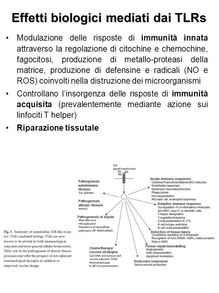 Effetti biologici mediati dai TLRs Modulazione delle risposte di immunità innata attraverso la regolazione di citochine e chemochine, fagocitosi, produzione di metallo-proteasi della matrice, produzione di defensine e radicali (NO e ROS) coinvolti nella distruzione dei microorganismi Controllano l'insorgenza delle risposte di immunità acquisita (prevalentemente mediante azione sui linfociti T helper) Riparazione tissutale