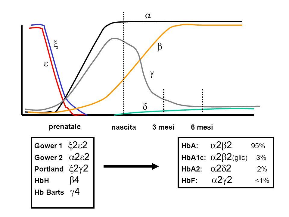  nascita3 mesi6 mesi prenatale      HbA:  2  2 95% HbA1c:  2  2 (glic) 3% HbA2:  2  2 2% HbF:  2  2 <1% Gower 1  2  2 Gower 2  2  2 Portland  2  2 HbH  4 Hb Barts  4