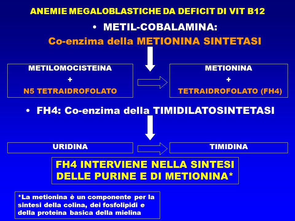 ANEMIE MEGALOBLASTICHE DA DEFICIT DI VIT B12 METIL-COBALAMINA: Co-enzima della METIONINA SINTETASI METILOMOCISTEINA + N5 TETRAIDROFOLATO METIONINA + TETRAIDROFOLATO (FH4) FH4: Co-enzima della TIMIDILATOSINTETASI URIDINATIMIDINA FH4 INTERVIENE NELLA SINTESI DELLE PURINE E DI METIONINA* *La metionina è un componente per la sintesi della colina, dei fosfolipidi e della proteina basica della mielina