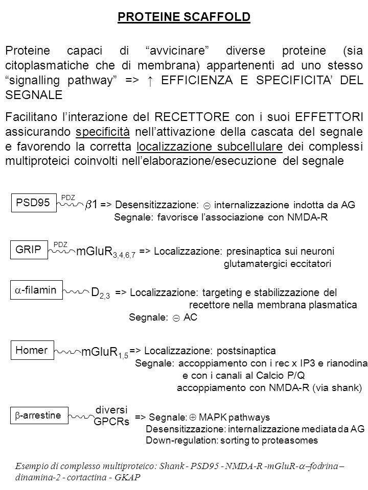"""PROTEINE SCAFFOLD Proteine capaci di """"avvicinare"""" diverse proteine (sia citoplasmatiche che di membrana) appartenenti ad uno stesso """"signalling pathwa"""