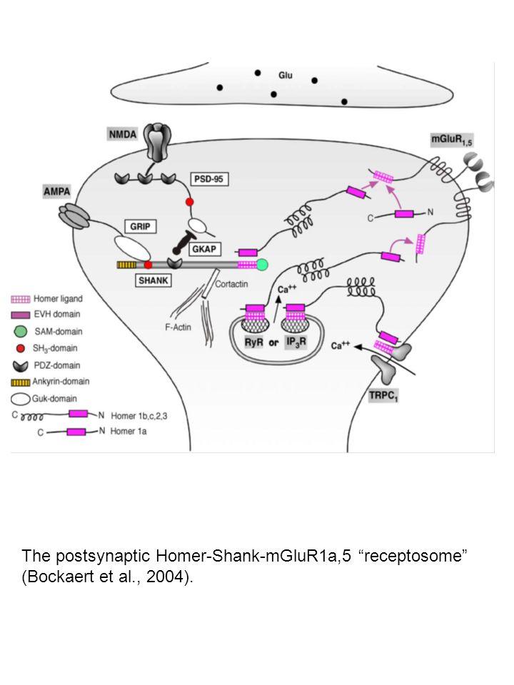 "The postsynaptic Homer-Shank-mGluR1a,5 ""receptosome"" (Bockaert et al., 2004)."