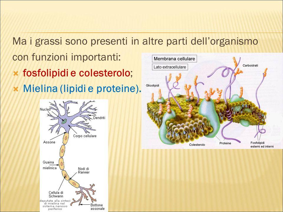 Ma i grassi sono presenti in altre parti dell'organismo con funzioni importanti:  fosfolipidi e colesterolo;  Mielina (lipidi e proteine).
