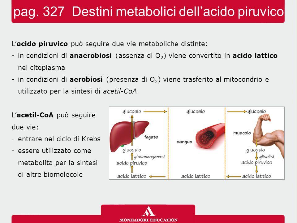 L'acido piruvico può seguire due vie metaboliche distinte: -in condizioni di anaerobiosi (assenza di O 2 ) viene convertito in acido lattico nel citop