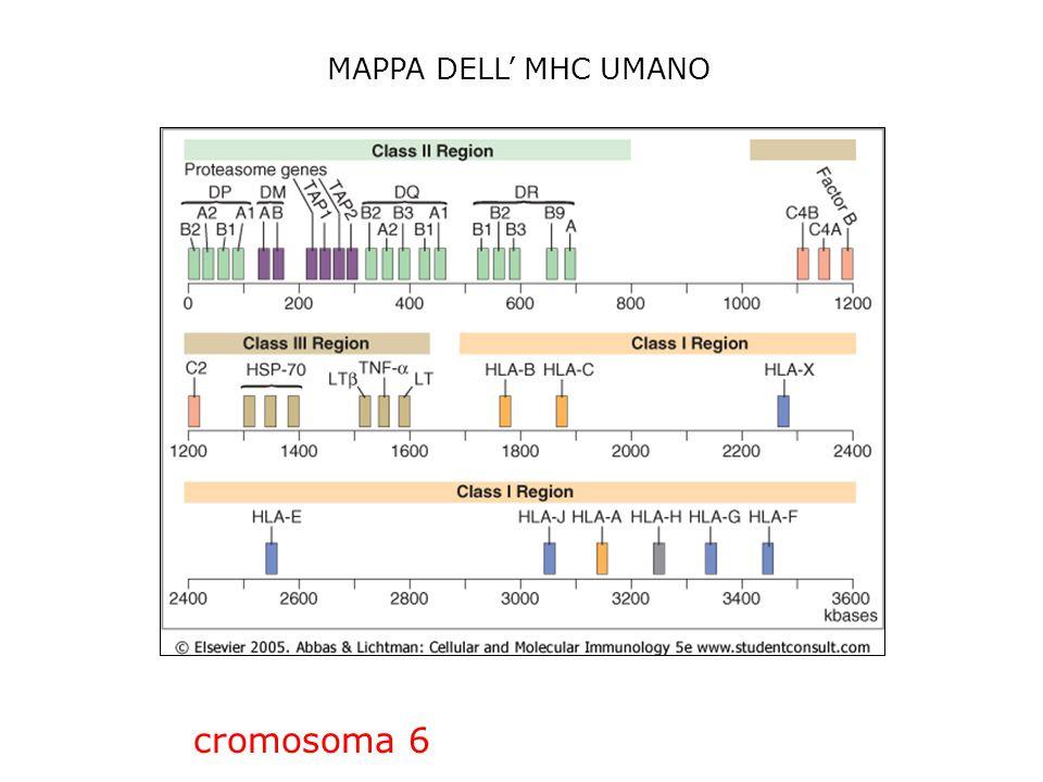 CaratteristicheMHC classe IMHC classe II Catene polipeptidiche  (44-47 kD)  2 -microglobulina (12 kD)  (32-34 kD)  (29-32 kD) Localizzazione dei residui polimorfici Domini  1 e  2Domini  1 e  1 Siti di legame per il co-recettore cell T Regione  3 lega CD8Regione  2 lega CD4 Lunghezza della tasca che lega il peptide Legano peptidi di 8-11 aa Legano peptidi di 10- 30 aa o più Nomenclatura umanaHLA-A, HLA-B, HLA-C HLA-DR, HLA-DQ, HLA-DP Nomenclatura murinaH-2K, H2-D, H-2LI-A, I-E CARATTERISTICHE DELLE MOLECOLE MHC DI CLASSE I E II