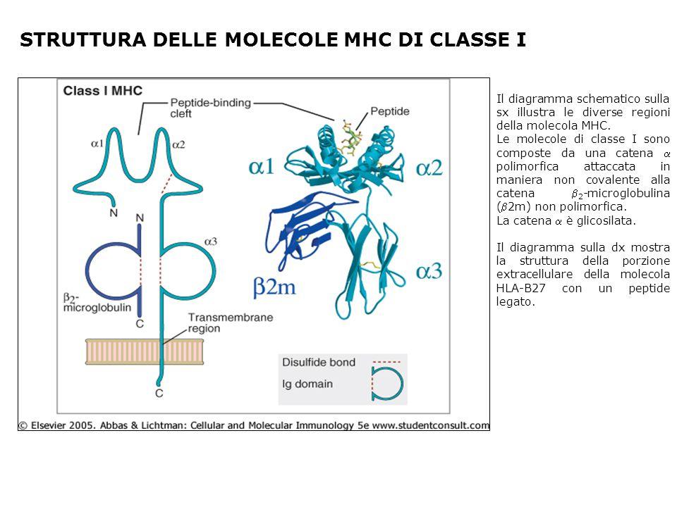 STRUTTURA DELLE MOLECOLE MHC DI CLASSE I Il diagramma schematico sulla sx illustra le diverse regioni della molecola MHC. Le molecole di classe I sono