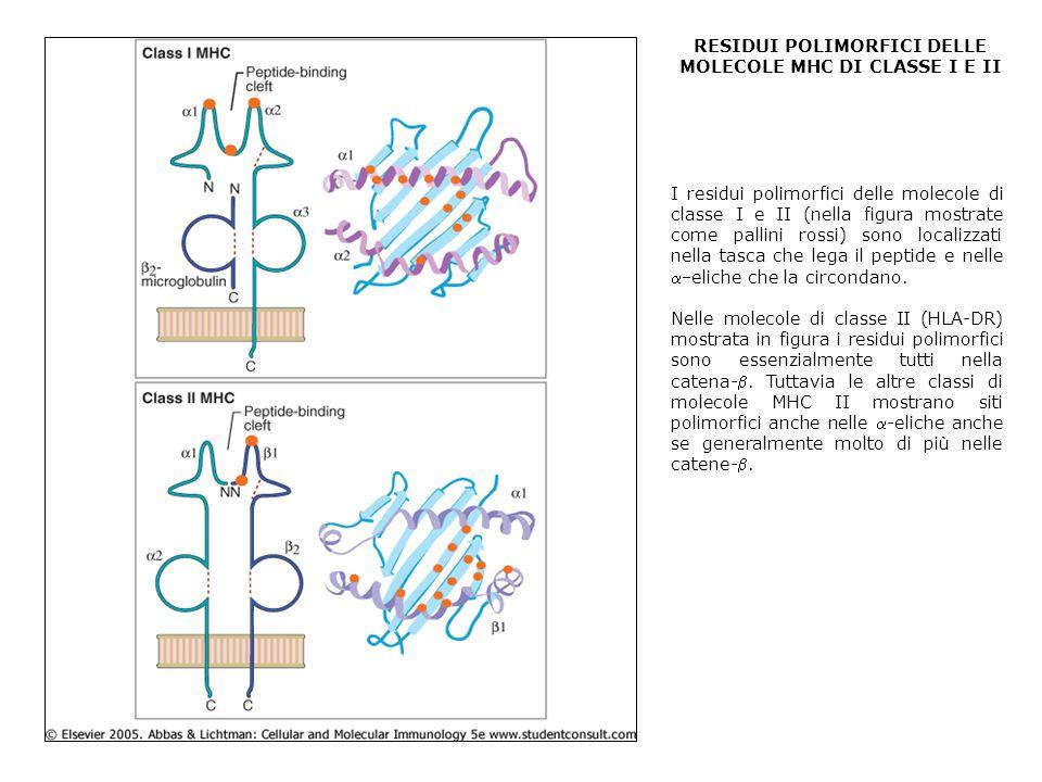 RESIDUI POLIMORFICI DELLE MOLECOLE MHC DI CLASSE I E II I residui polimorfici delle molecole di classe I e II (nella figura mostrate come pallini rossi) sono localizzati nella tasca che lega il peptide e nelle eliche che la circondano.