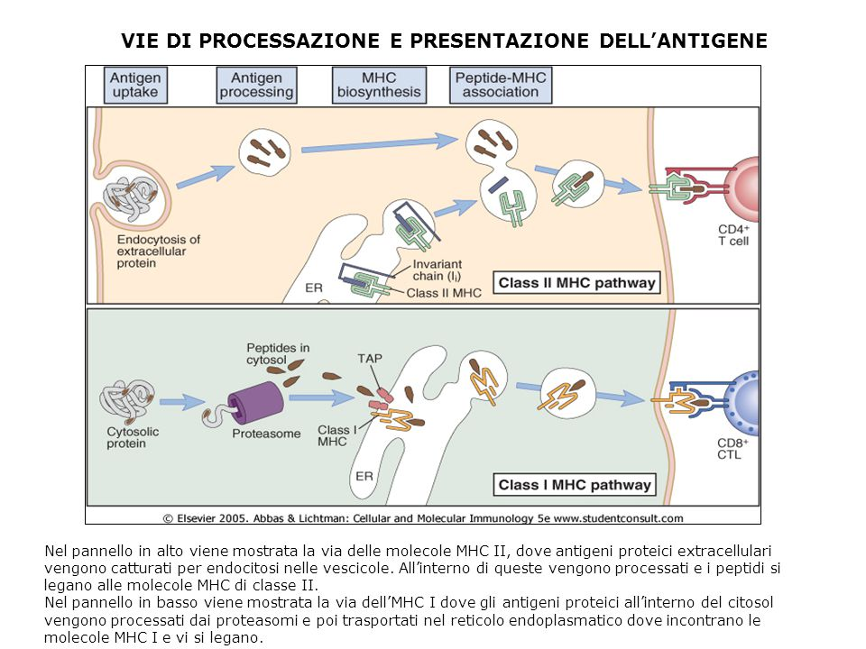 VIE DI PROCESSAZIONE E PRESENTAZIONE DELL'ANTIGENE Nel pannello in alto viene mostrata la via delle molecole MHC II, dove antigeni proteici extracellulari vengono catturati per endocitosi nelle vescicole.