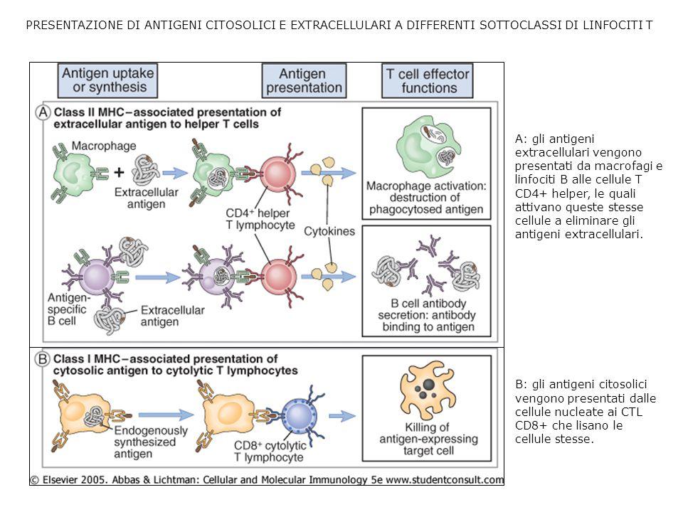 PRESENTAZIONE DI ANTIGENI CITOSOLICI E EXTRACELLULARI A DIFFERENTI SOTTOCLASSI DI LINFOCITI T A: gli antigeni extracellulari vengono presentati da macrofagi e linfociti B alle cellule T CD4+ helper, le quali attivano queste stesse cellule a eliminare gli antigeni extracellulari.