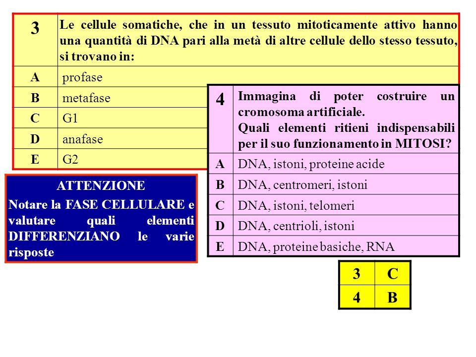 3 Le cellule somatiche, che in un tessuto mitoticamente attivo hanno una quantità di DNA pari alla metà di altre cellule dello stesso tessuto, si trov