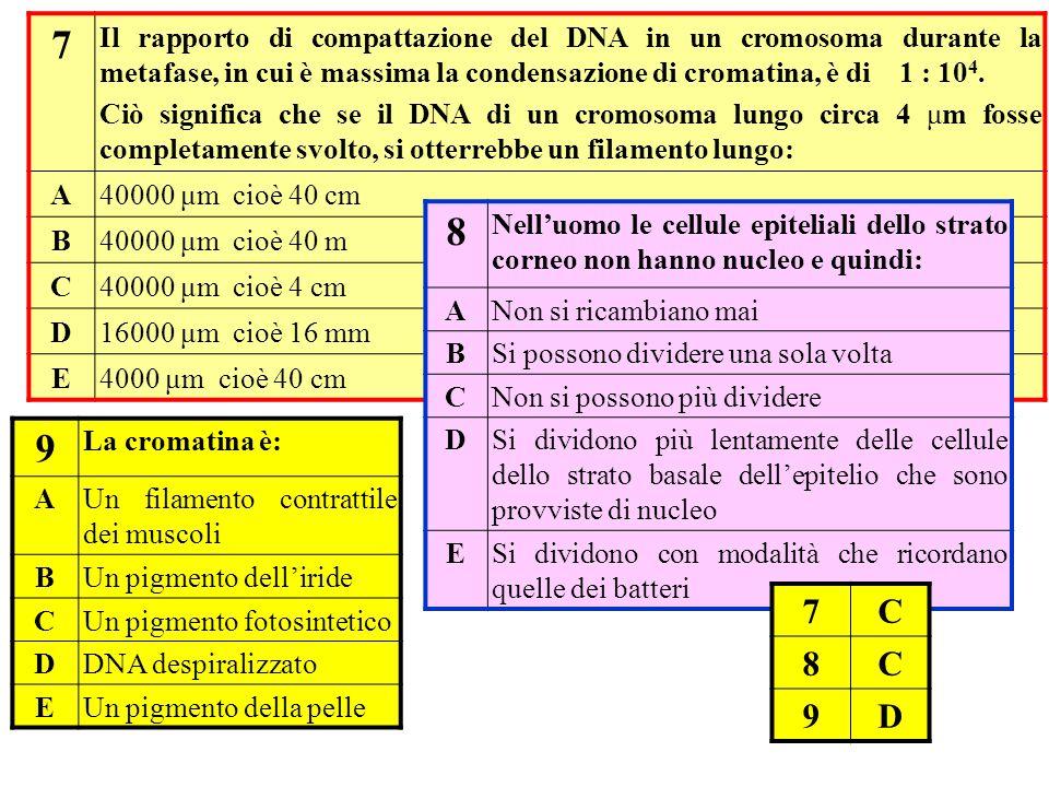 7 Il rapporto di compattazione del DNA in un cromosoma durante la metafase, in cui è massima la condensazione di cromatina, è di 1 : 10 4. Ciò signifi