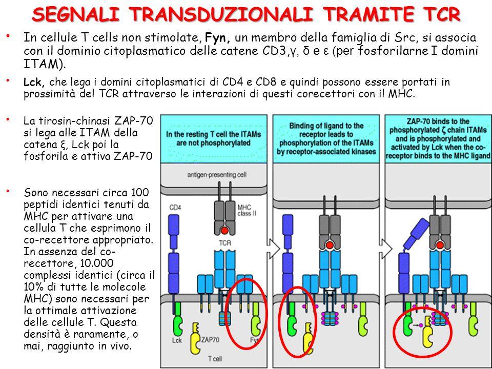 SEGNALI TRANSDUZIONALI TRAMITE TCR Attivazione Tirosin-chinasi Fyn e Lck (Membrana cellulare) Cascata Chinasi MAP e calcineurina (citoplasma) Attivazi