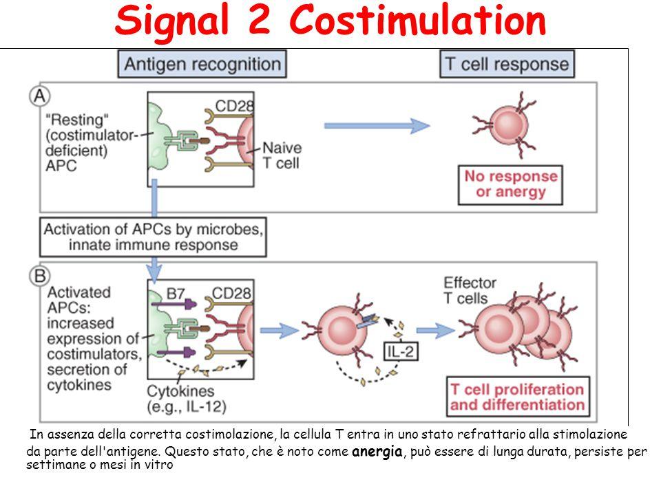 SEGNALI TRANSDUZIONALI TRAMITE TCR In cellule T cells non stimolate, Fyn, un membro della famiglia di Src, si associa con il dominio citoplasmatico de