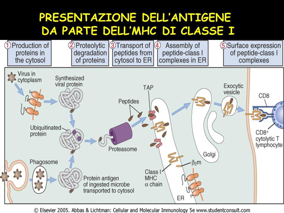 Il sistema HLA ha tre caratteristiche fondamentali: 1.È poligenico: vi sono numerosi geni che codificano per le proteine della classe I e II con una d