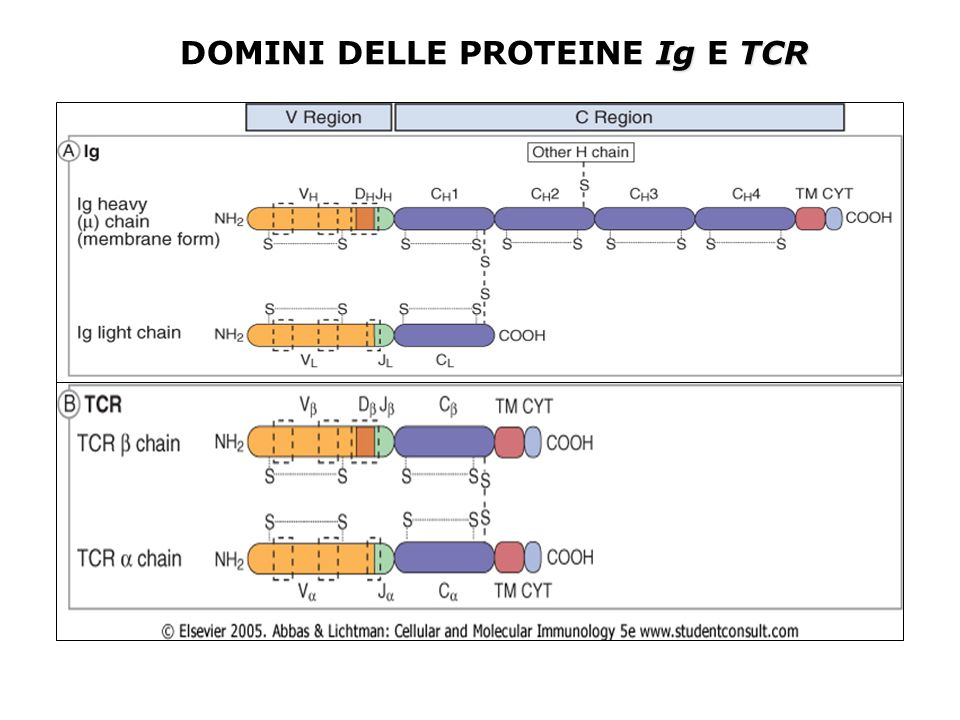 IgTCR DOMINI DELLE PROTEINE Ig E TCR