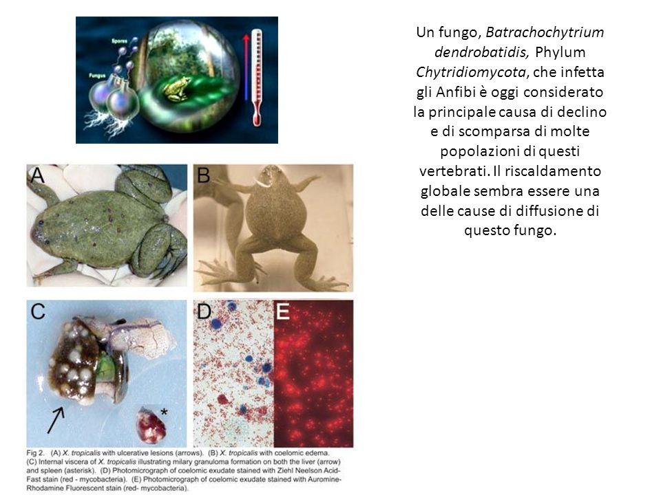Un fungo, Batrachochytrium dendrobatidis, Phylum Chytridiomycota, che infetta gli Anfibi è oggi considerato la principale causa di declino e di scompa