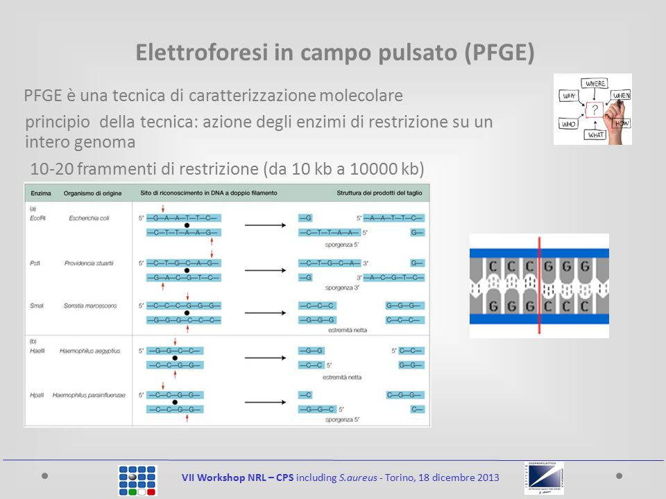 Elettroforesi in campo pulsato (PFGE) PFGE è una tecnica di caratterizzazione molecolare principio della tecnica: azione degli enzimi di restrizione su un intero genoma 10-20 frammenti di restrizione (da 10 kb a 10000 kb)