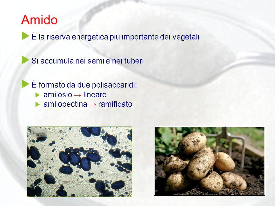 Amido  È la riserva energetica più importante dei vegetali  Si accumula nei semi e nei tuberi  È formato da due polisaccaridi:  amilosio → lineare