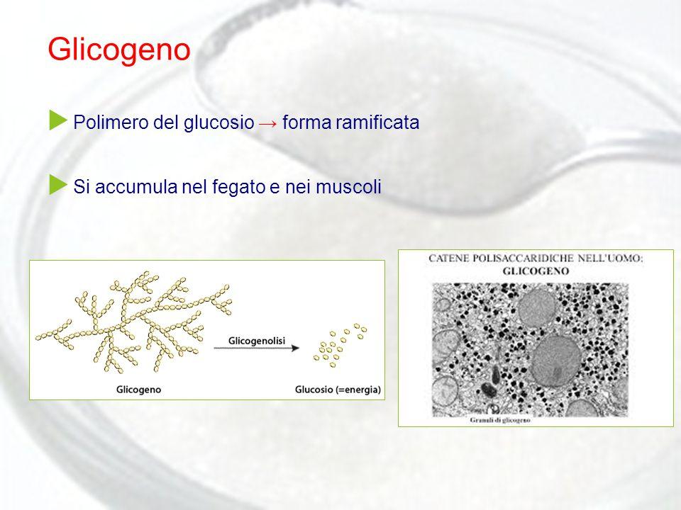 Glicogeno  Polimero del glucosio → forma ramificata  Si accumula nel fegato e nei muscoli