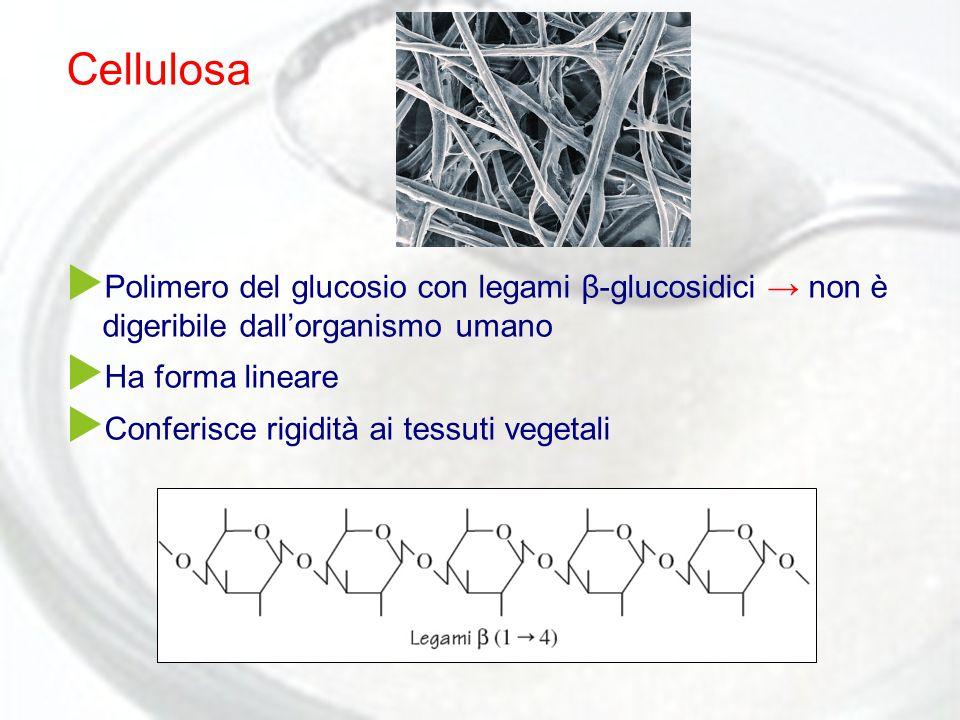 Cellulosa  Polimero del glucosio con legami β-glucosidici → non è digeribile dall'organismo umano  Ha forma lineare  Conferisce rigidità ai tessuti