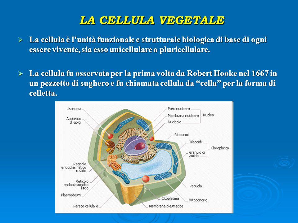 LA CELLULA VEGETALE LA CELLULA VEGETALE  La cellula è l'unità funzionale e strutturale biologica di base di ogni essere vivente, sia esso unicellular