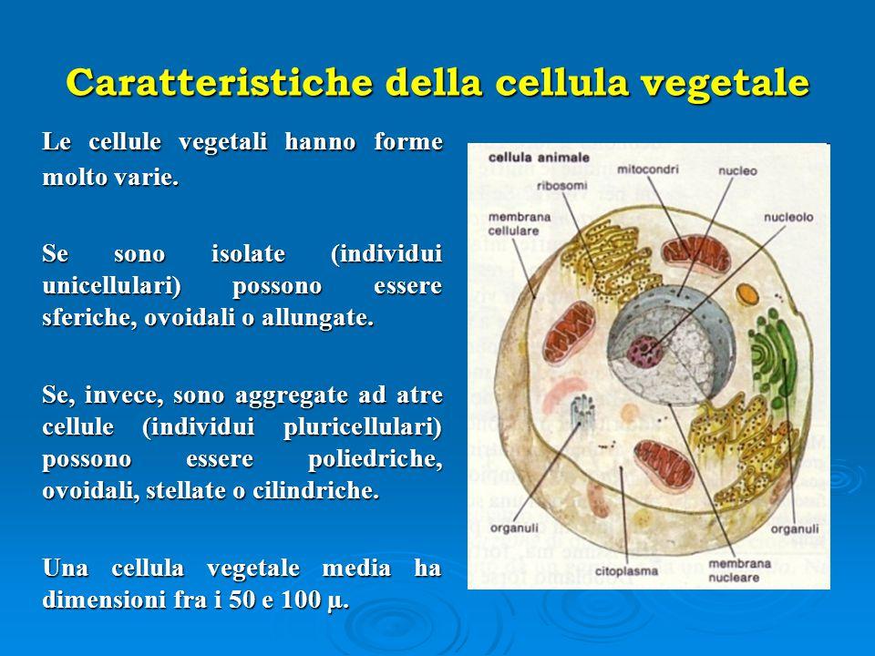 Caratteristiche della cellula vegetale Le cellule vegetali hanno forme molto varie. Se sono isolate (individui unicellulari) possono essere sferiche,