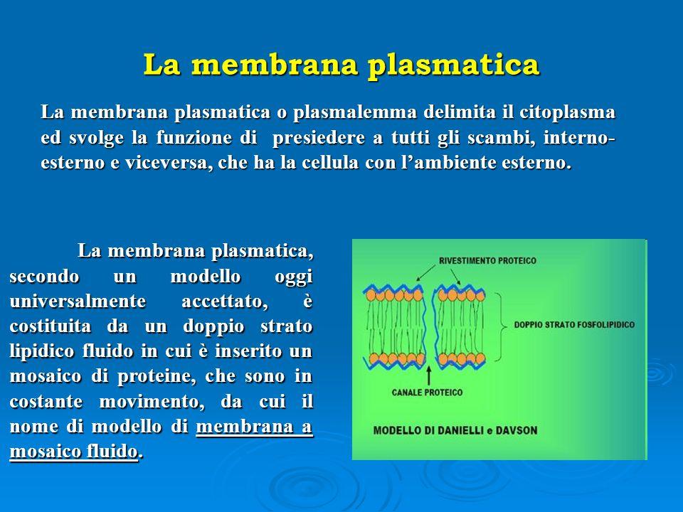 La membrana plasmatica La membrana plasmatica o plasmalemma delimita il citoplasma ed svolge la funzione di presiedere a tutti gli scambi, interno- es