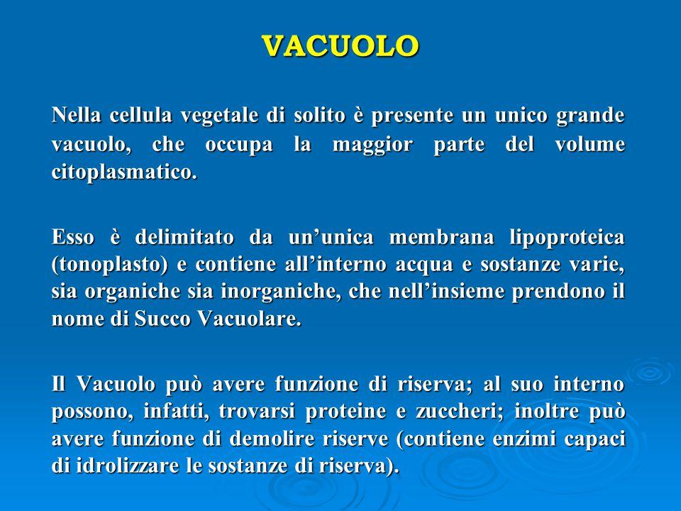 VACUOLO Nella cellula vegetale di solito è presente un unico grande vacuolo, che occupa la maggior parte del volume citoplasmatico. Nella cellula vege