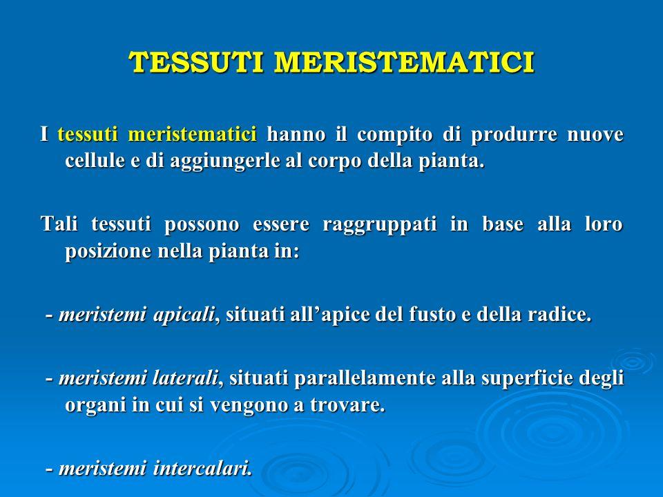 TESSUTI MERISTEMATICI I tessuti meristematici hanno il compito di produrre nuove cellule e di aggiungerle al corpo della pianta. Tali tessuti possono