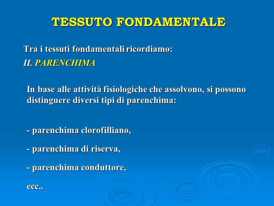 TESSUTO FONDAMENTALE Tra i tessuti fondamentali ricordiamo: Tra i tessuti fondamentali ricordiamo: IL PARENCHIMA IL PARENCHIMA In base alle attività f