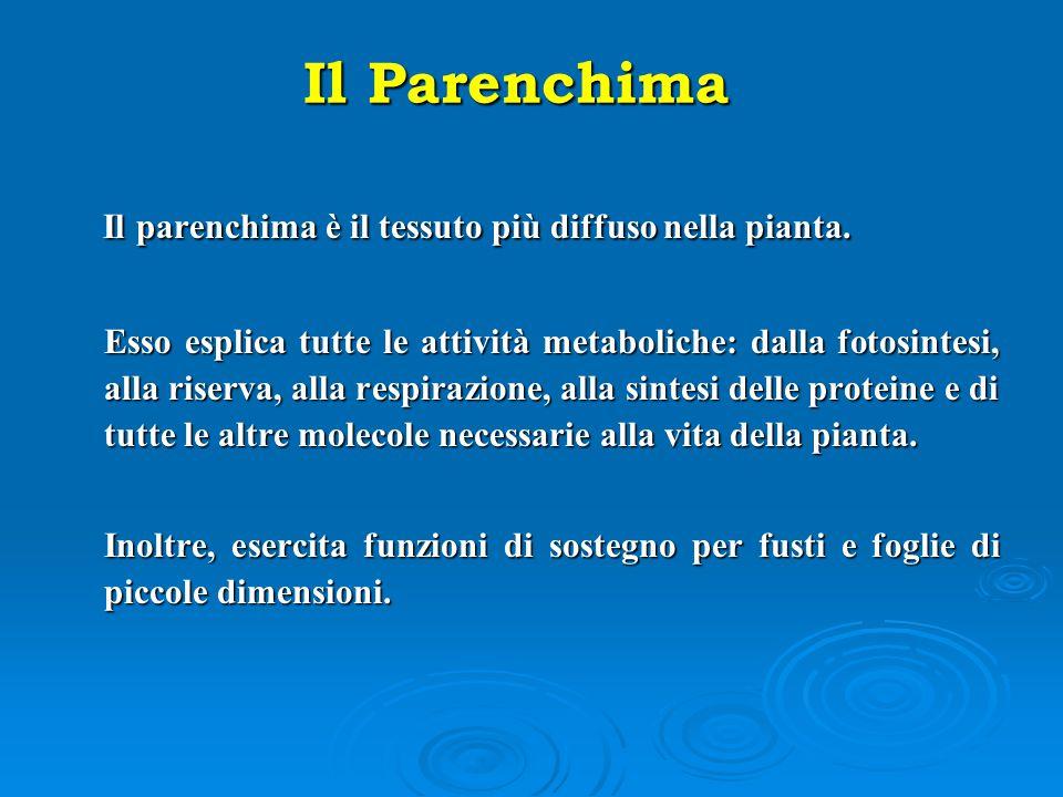 Il parenchima è il tessuto più diffuso nella pianta. Il parenchima è il tessuto più diffuso nella pianta. Esso esplica tutte le attività metaboliche: