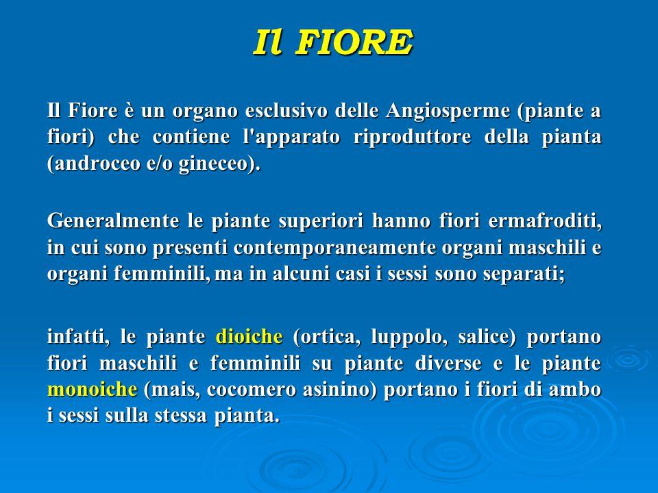 Il Fiore è un organo esclusivo delle Angiosperme (piante a fiori) che contiene l'apparato riproduttore della pianta (androceo e/o gineceo). Generalmen
