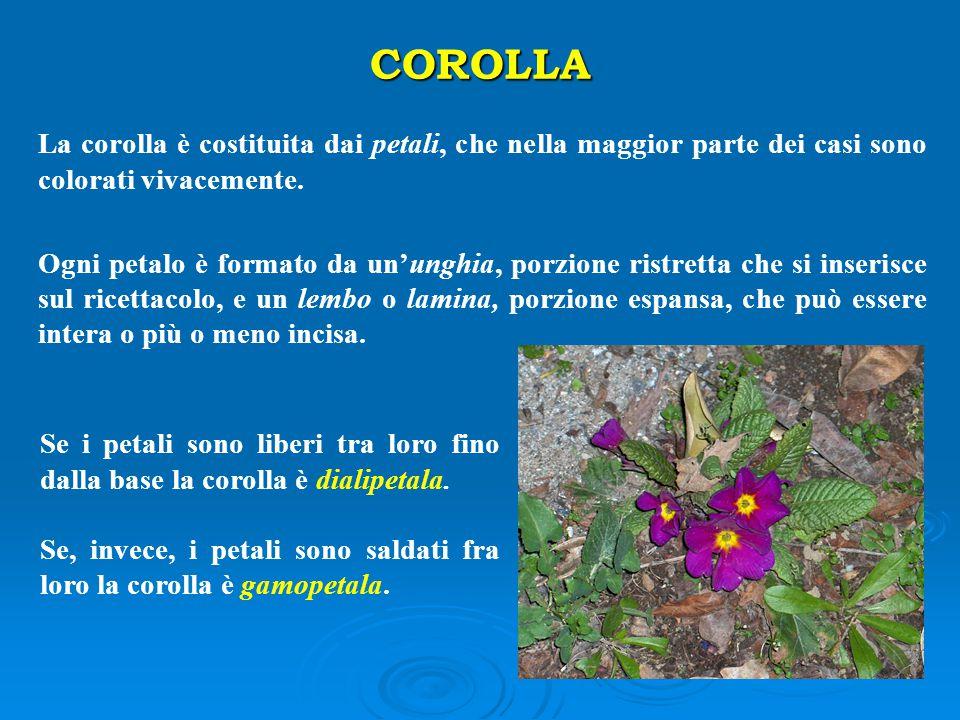 COROLLA La corolla è costituita dai petali, che nella maggior parte dei casi sono colorati vivacemente. Ogni petalo è formato da un'unghia, porzione r